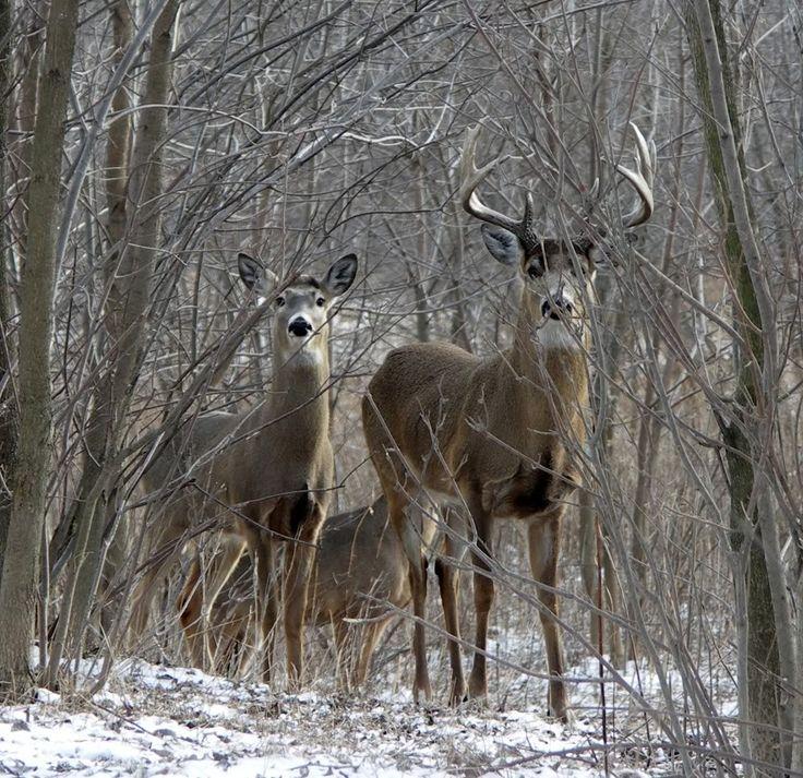 Big Whitetail Bucks in March