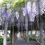 While growing wisteria is easy, you should take caution with it, as it can quickly overtake everything without proper care. The following article provides tips for growing and caring for wisteria vines.