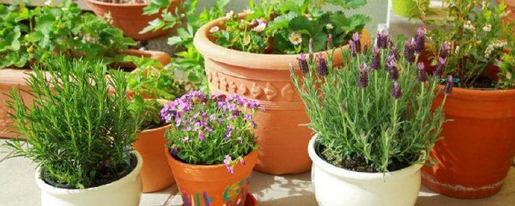 Horta na varanda? Veja os melhores suportes e formas de cultivo  - Basicamente, ter uma horta na varanda exige o plantio em vasos ou floreiras e isso significa menor enraizamento da raiz e maior evaporação da água, pois o sol e o calor aquecem as paredes dos recipientes. Assim, dois cuidados são essenciais: regar mais as plantas e alocá-las em recipientes com... - http://www.ecoadubo.blog.br/ecoblog/2015/04/01/horta-na-varanda-veja-os-melhores-suportes-e-formas-de-