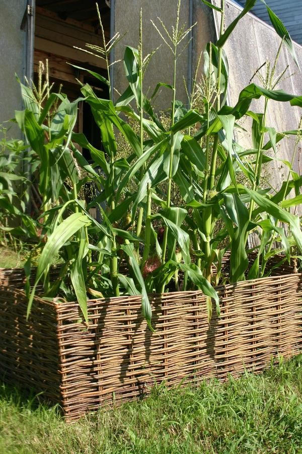 Thought You Couldnu0027t Grow Corn Because You Are Tight On Growing Space Due  To A Small Yard Or City Living, Then This Is The Corn To Try.