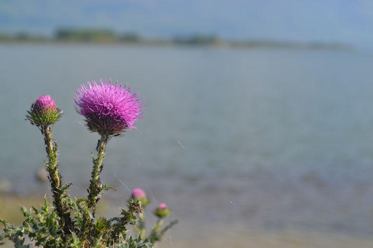 Cotton thistle (Onopordum acanthium)