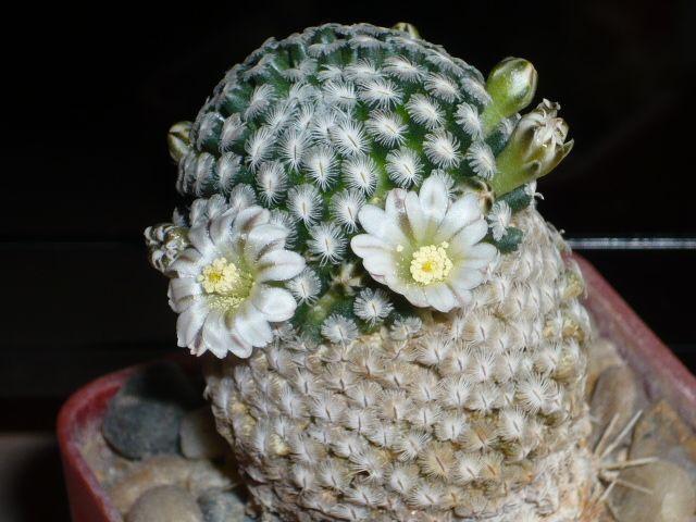 Mammillaria sanchez-mejorada