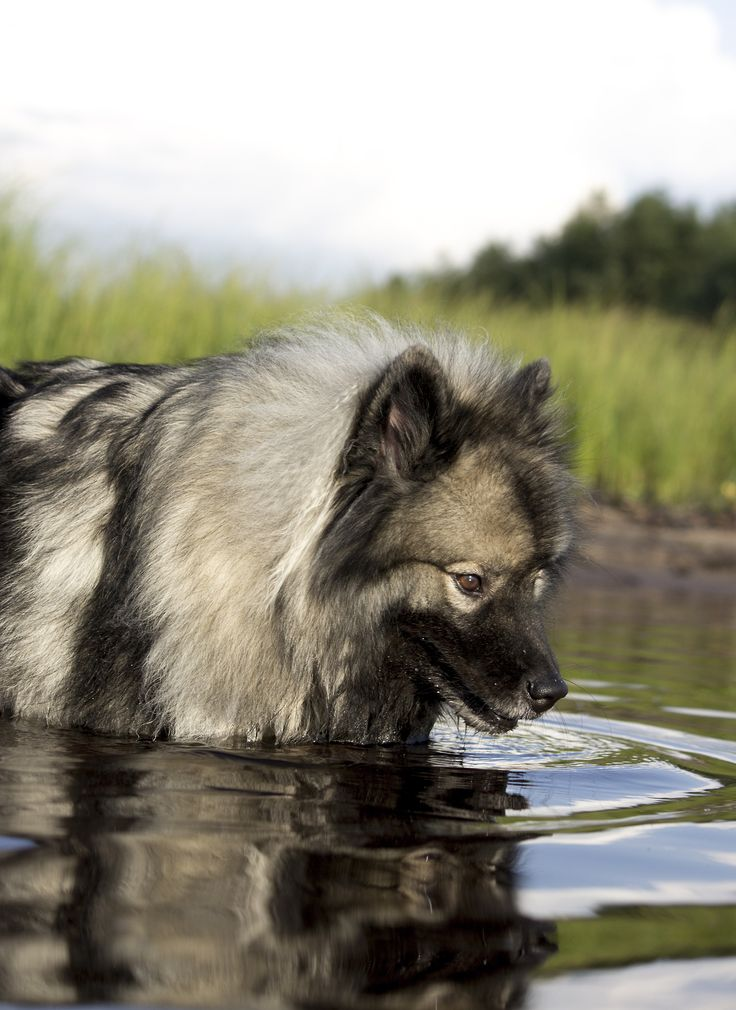 Keeshond. This reminds me of my Beanies when he went fishing with me. He loved the water.
