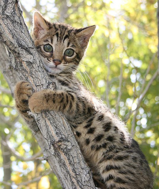 bengal kitten, i want!!!!!!!!!! - Spoil your kitty at www.coolcattreehouse.com