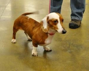 Sophie-female doxie is an adoptable Dachshund Dog in O'Fallon, MO. 1 yr old double dapple dachshund girl that has so much love to share. She is working on house training, but is deaf so it's a slow go...