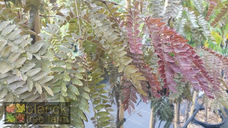 Gleditsia – Ruby Lace – Purchase Bare Rooted Trees Online