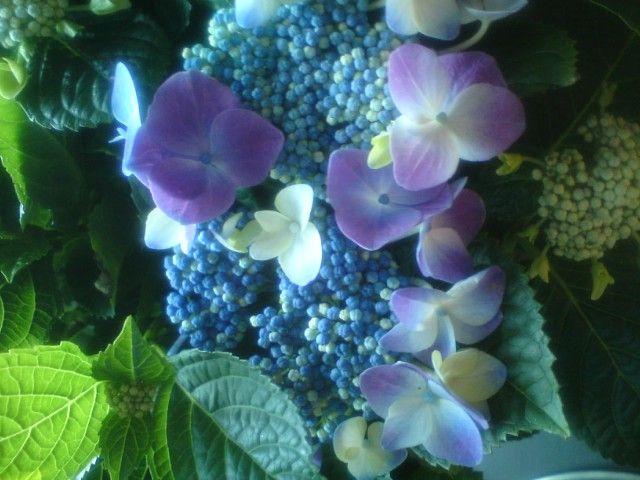 Blue hortenzia