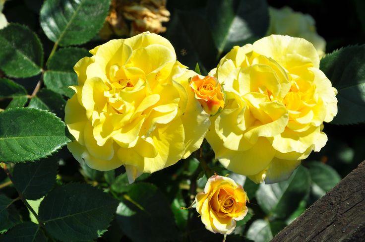 Rose garden - RS Foto