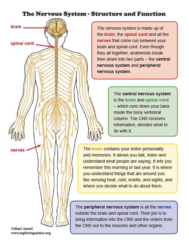 Nervous System Structure And Function Mini Poster Nervous System Structure Structure And Function Human Nervous System