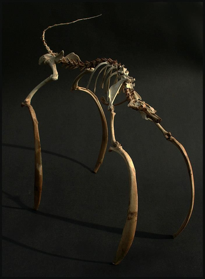 Bone sculpture by Chris Richford: Damiur curilli ~ A curious mammal that utilises a symbiosis with necrotizing bacteria to hunt pray much larger than itself