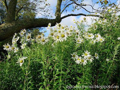 Ogrodnictwo od A do Z : Jastruń późny- Leucanthemella serotina (Rośliny w ...