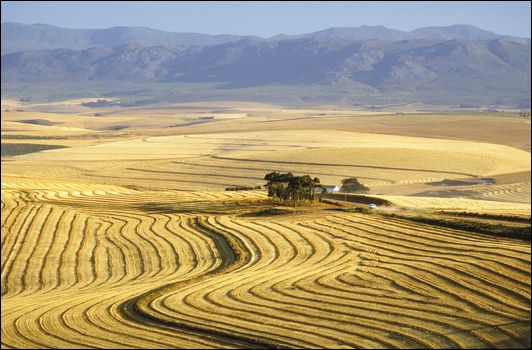 Wheat fields near Caledon, Western Cape, South Africa. BelAfrique - Your Personal Travel Planner - www.belafrique.co.za