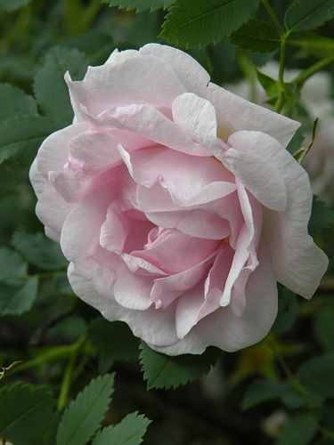 ~Hybrid Spinosissima Rose: Rosa 'Suzanne' (Canada, 1950)