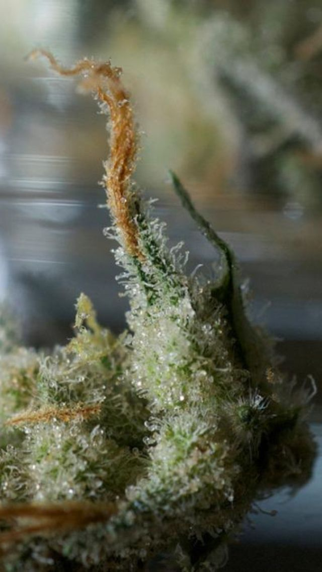 It's almost a shame to smoke it. The best seeds# http://www.spliffseeds.nl/silver-line/blue-berry-seeds.html