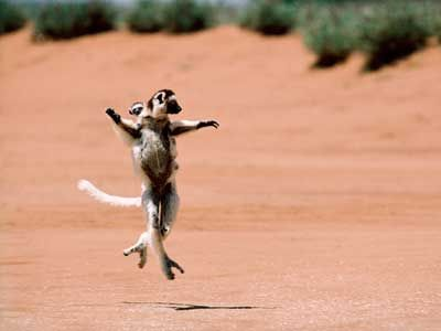 The lemur doesn't exactly walk. Its gait looks more like ballet.
