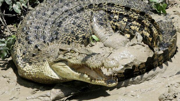 Saltwater Crocodile Attacks   Crocodile attack Australia