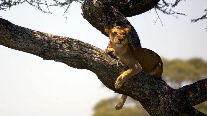 Løver som klatrer i trærne kan kun sees noen få steder i verden, blant annet på safai i Serengeti i Tanzania - Climbing lion, safari in Serengeti, Tanzania http://travels.kilroy.no/destinasjoner/afrika/tanzania/safari