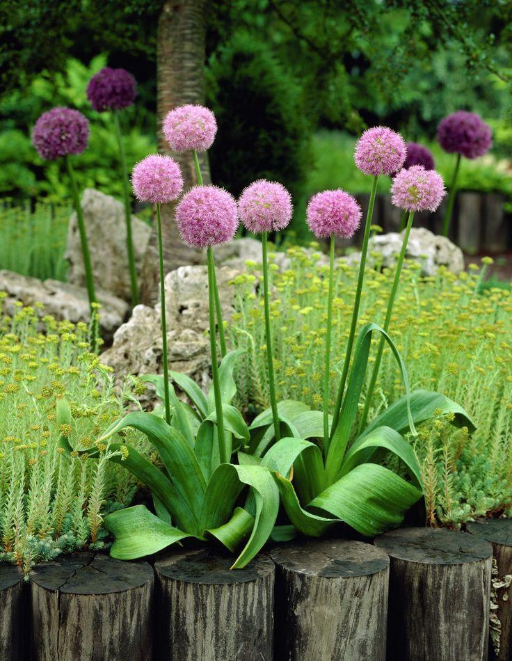 474 best agapanthe allium images on pinterest gardens cottage gardens and bud. Black Bedroom Furniture Sets. Home Design Ideas