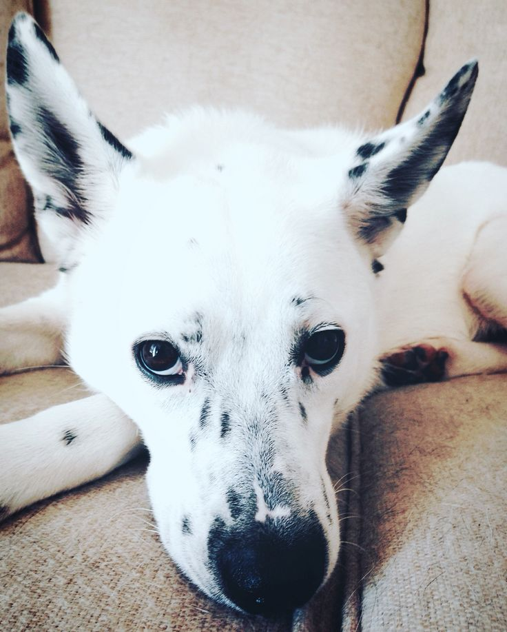 I love my baby more than anything! Archer is a Dalmatian German Shepard Husky mix