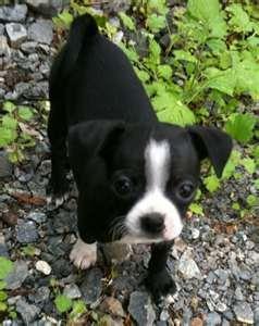 Bo-Chi Boston Terrier Chihuahua mix dog
