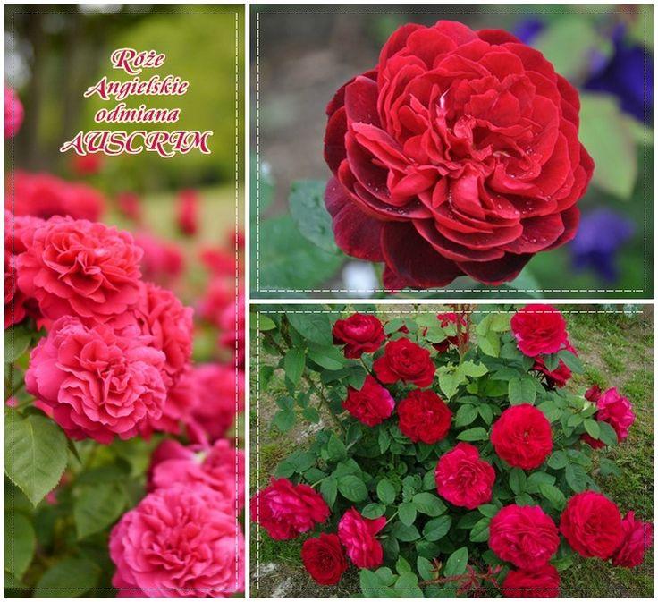 róże angielskie Auscrim