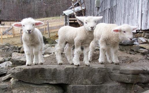 New lambs on the farm
