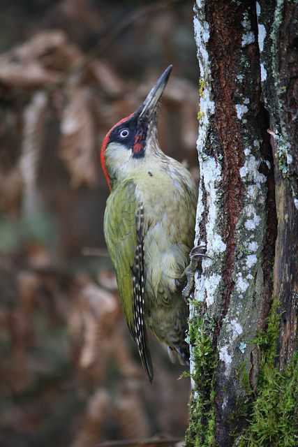 Grünspecht  (European green woodpecker)