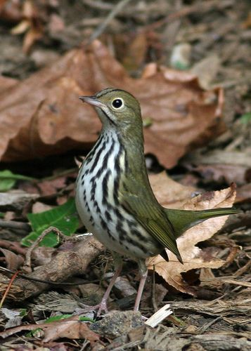 The Ovenbird (Seiurus aurocapilla) is a small songbird of the New World warbler family (Parulidae). This migratory bird breeds in eastern North America and winters in Central America, many Caribbean Islands, Florida, and northern Venezuela