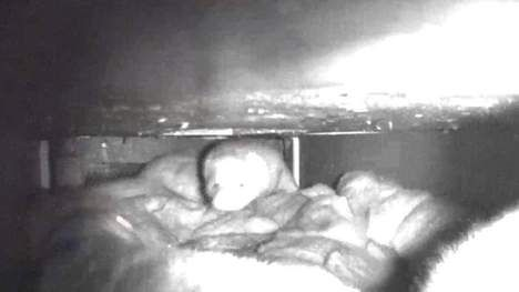 Dierenrechtenorganisatie filmt met verborgen camera gruwelijke doodsstrijd van nertsen in kwekerijen - HLN.be