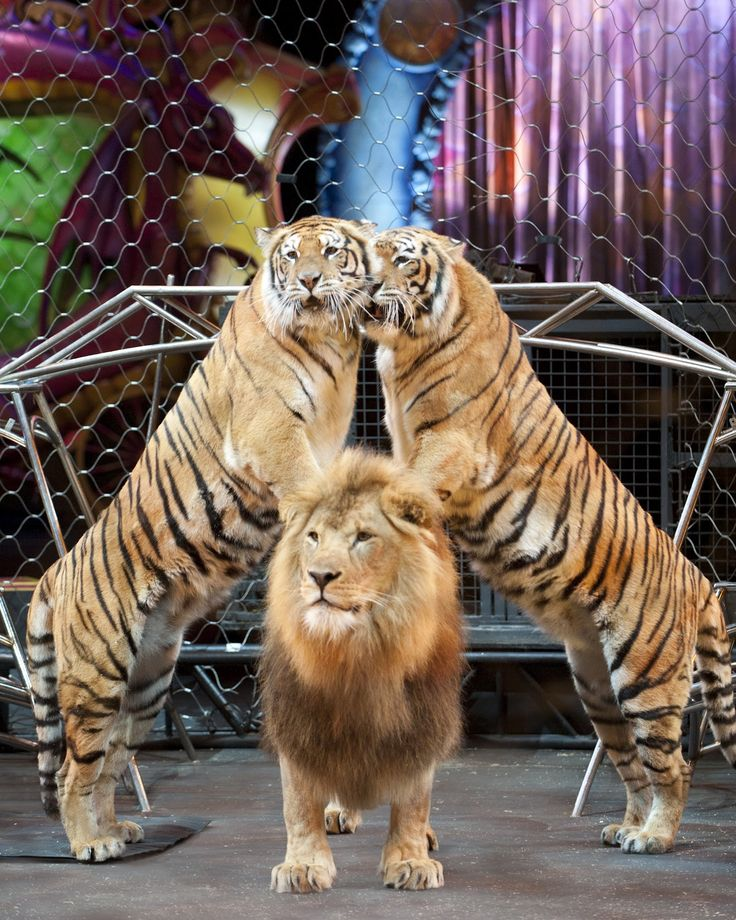 Lions And Tigers Ringling Brothers Circus