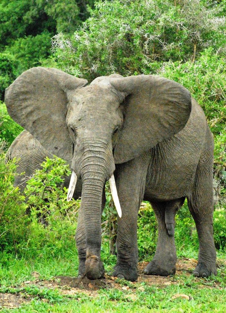 Zowel de mannelijke als de vrouwelijk Afrikaanse olifant heeft slagtanden. Bij de Aziatische olifant hebben alleen de heren slagtanden.