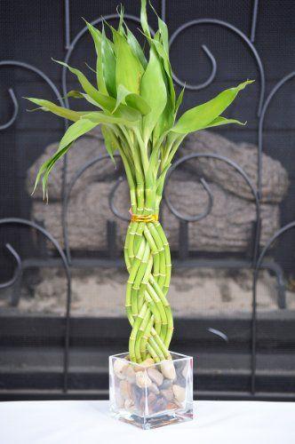 9GreenBox - Modern Style Lucky Bamboo Plant Arrangement