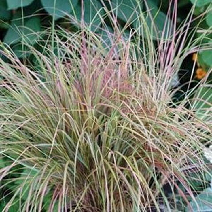 1000 ideas about stipa arundinacea on pinterest vivaces for Hardy perennial ornamental grasses