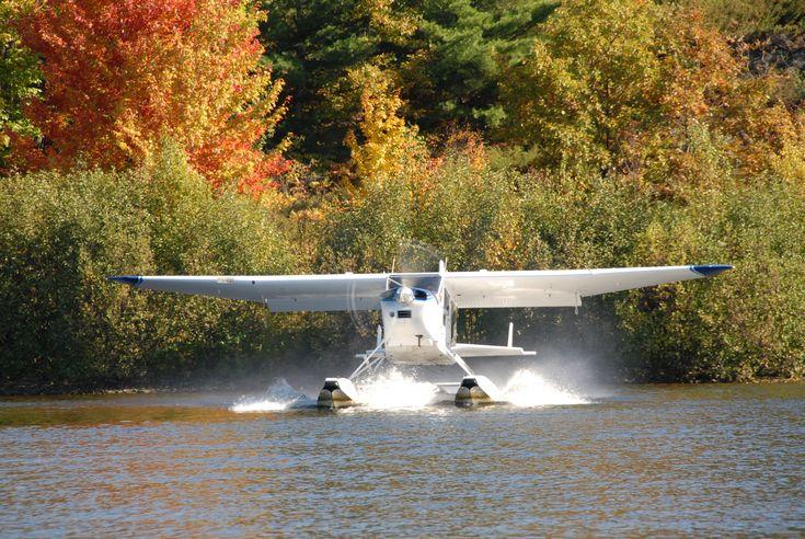 Found Bush Hawk taking off