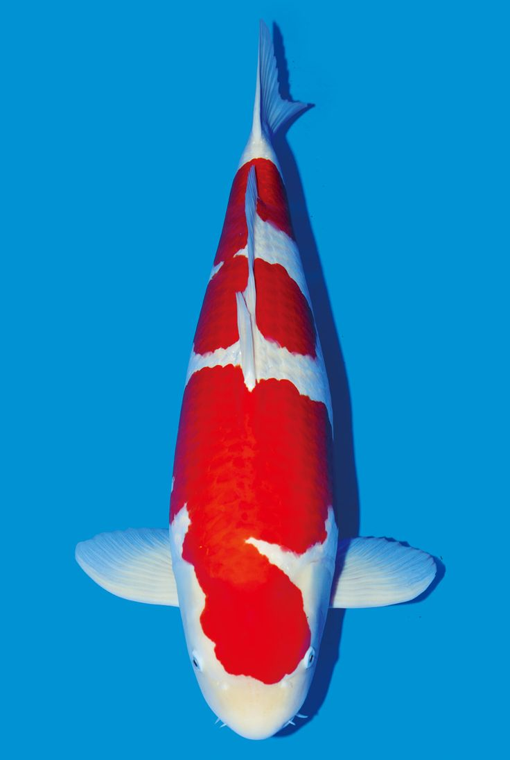 15 best peces koi images on pinterest japanese koi koi for Japanese koi company