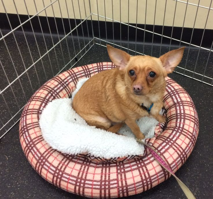 Chihuahua dog for Adoption in San Jose, CA. ADN-475794 on PuppyFinder.com Gender: Female. Age: Adult