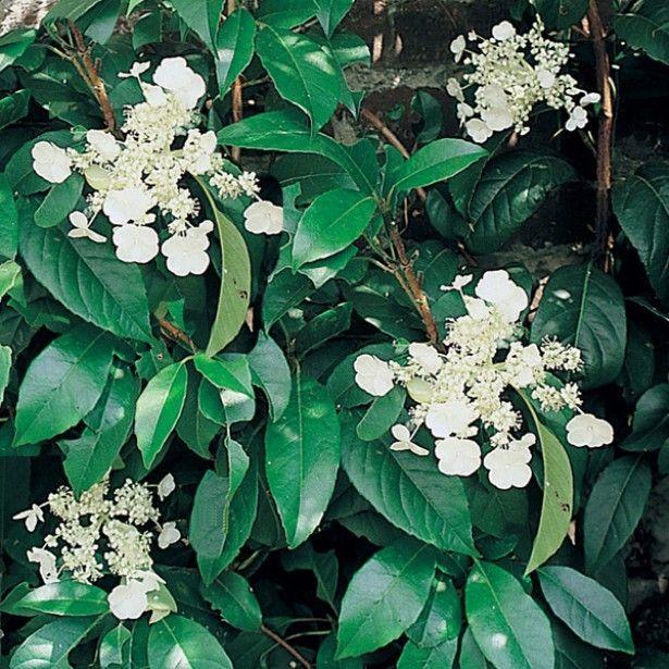 Hydrangea seemanii - Hortensia grimpant