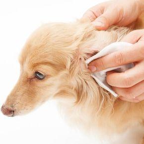 Dicas para limpar as orelhas de cachorro. A higiene dos ouvidos do cachorro ao longo da sua vida é fundamental no cuidado da sua saúde e, por isso, devemos revisar suas orelhas com frequência e limpar quando for necessário. Com uma correta li...
