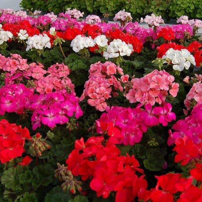 Les 112 meilleures images du tableau geranium seeds sur - Graine de geranium ...
