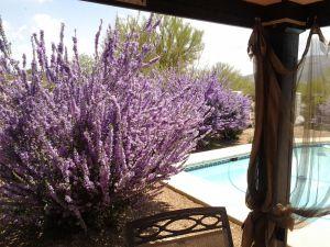 Texas Ranger PlantΗ παραπάνω εικόνα είναι μια ποικιλία της ερήμου Sage θάμνους , που ονομάζεται Chihuahuan Sage , Leucophyllum laevigatum. Όλοι μας θάμνους φασκόμηλου είναι ανθισμένα με λαμπρό μωβ λουλούδια και πολλές μέλισσες. Αυτά έρημο θάμνοι είναι τέλεια για τις μέλισσες .