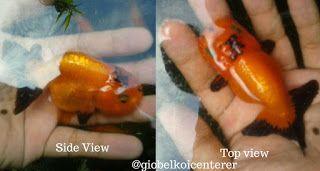 Live Koi Fish for Sale in Cebu , Goldfish for Sale in Cebu: #giobelkoicenter Buffalo Ranchu red/black