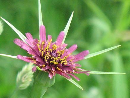 Tragopogon porrifolius / Common salsify, Oyster plant / バラモンジン