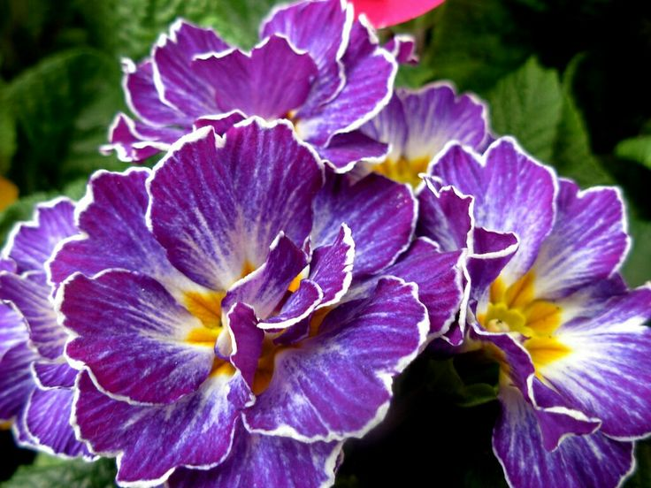Love these purple primrose for J's tattoo