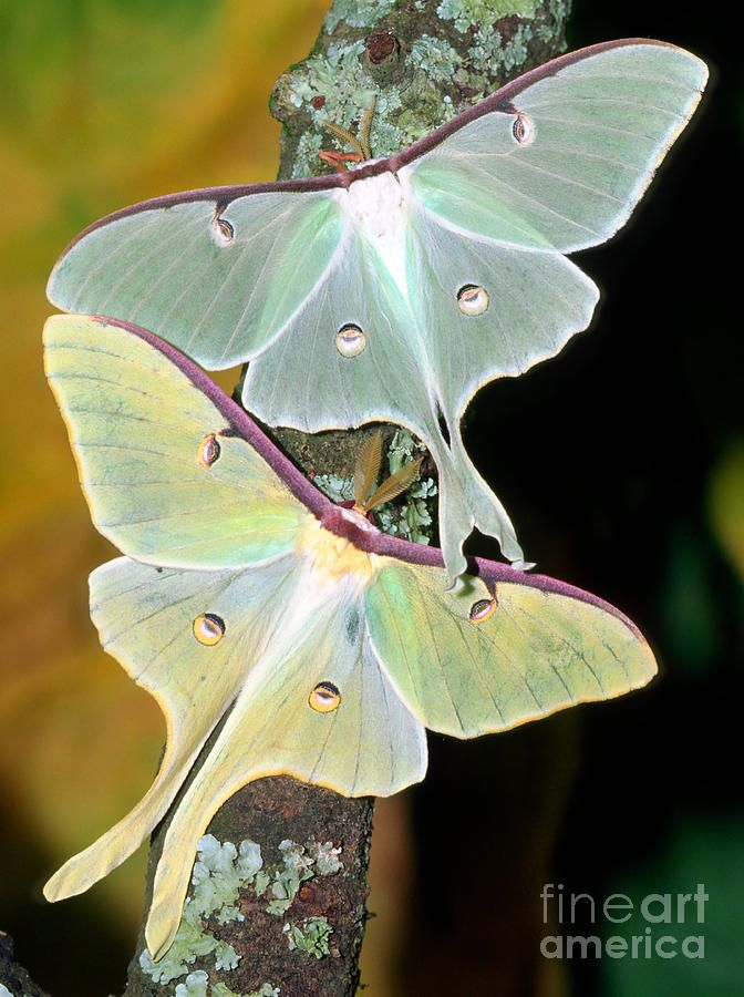 Luna Moths Photograph by Millard H. Sharp