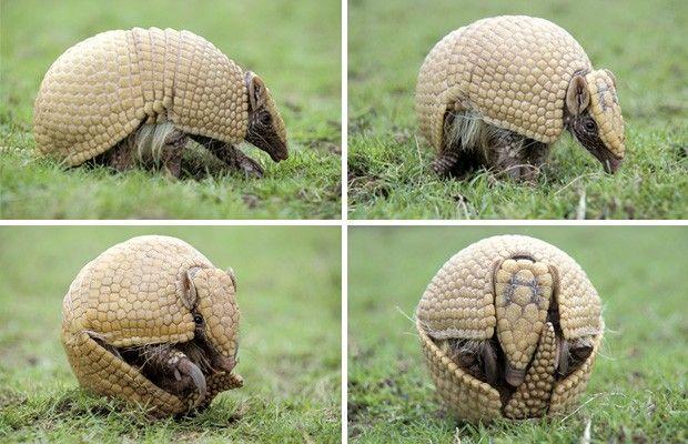Tatu-bola se defende de predadores enrolando seu corpo. A carapaça do animal lembra uma bola de futebol. (Foto: Divulgação/Associação Caatinga/Mark Payne-Gill/NaturePL)
