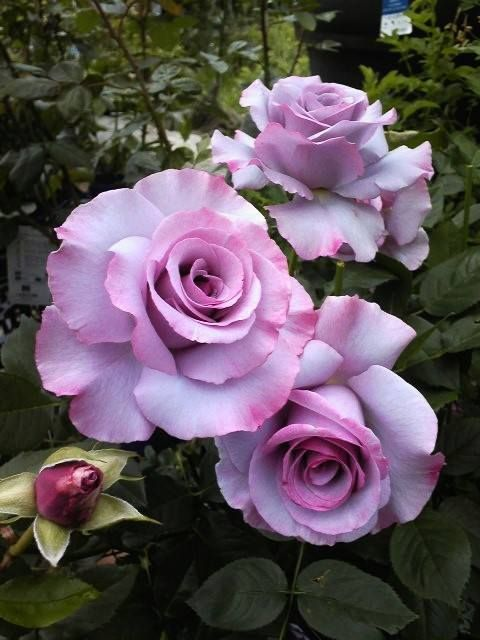 'Dioressence' ~ floribunda rose with lilac, ruffled blooms, edged in purple and plum.  From the Perfumes Collection by Delbard, France