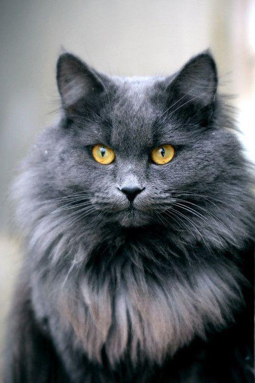 Yellowstone gray she cat with yellow eyes. has sharp tounge ,sassy and use to be medicine cat. ( Yellowfang reincarnation )