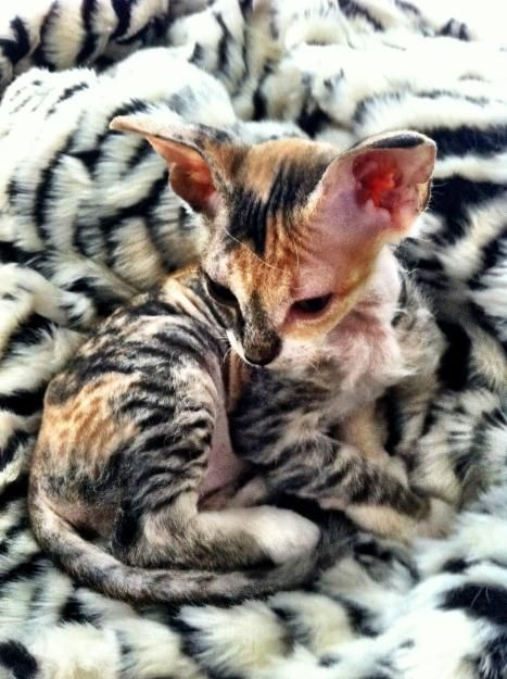 Calico Sphinx <- this cat actually has fur making it one of the Rex breeds, either a Devon Rex or a Cornish Rex. Still cute as hell though