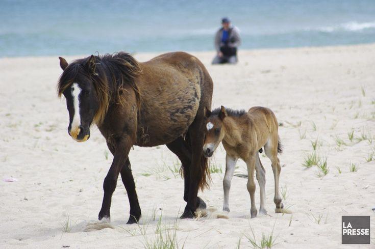 Loin au large de la Nouvelle-Écosse, l'île de Sable est un long ruban sablonneux où résident 5 humains et 550 chevaux sauvages. En raison du brouillard et des tempêtes...