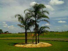 Nome científico: Syagrus ramanzoffiana  Nome popular: palmeira-jerivá  Palmeira de elevadovalorecologico e ornamental.